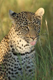 The african leopard. Young female african leopard Panthera pardus in the savanna.Portrait of leopard stock images