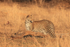 The african leopard. Young male african leopard Panthera pardus in the yellow savanna stock photos