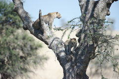 African Leopards. Portrait shot of African Leopards in a tree Royalty Free Stock Photography