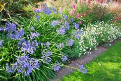 African lilly - Agapanthus umbellatus Royalty Free Stock Images