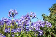 African lilly - Agapanthus umbellatus Royalty Free Stock Image