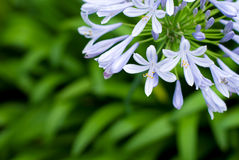 African lily Royalty Free Stock Photography