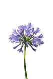 African lily (Agapanthus africanus) Royalty Free Stock Photo