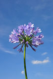 African lily (Agapanthus africanus) Stock Image