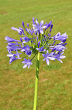 African lily (Agapanthus africanus) Royalty Free Stock Photography