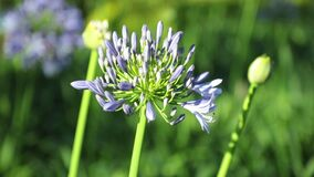 African lily Agapanthus Africanus High Definition Footage. Agapanthus africanus or African lily flowers with a blurred background, high definition movie clip stock footage