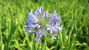 African lily Agapanthus Africanus high definition footage. Agapanthus africanus or African lily flowers with a blurred background, high definition movie clip stock video