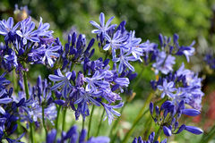 African lily Agapanthus praecox Stock Photo