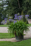 African lily. Big African lily in a castle garden stock photos