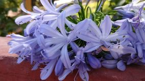 African lily of blue and purple color. On a bright sunny day stock photos