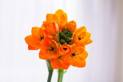 African Lily close up. Orange flower indoors royalty free stock photography