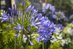 African Lily flowers (Agapathus africanus) in the garden Royalty Free Stock Photo
