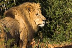 African lion. Scavenging for food Stock Photos