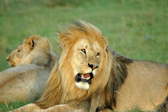 African lion Stock Photo
