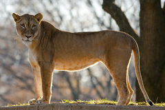 African Lion. Portrait of a big young female African lion Stock Photo