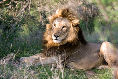 Free African Lion Royalty Free Stock Photography - 12538127