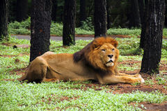 Free African Lion. Royalty Free Stock Photo - 12543245