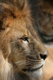 African Lion. Side view of male african lion Royalty Free Stock Photography