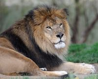 African lion. Closeup of African lion relaxing Stock Image