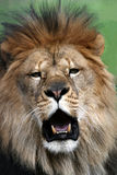 African Lion. Male African Lion, mouth gaping showing teeth Royalty Free Stock Photos