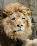 African lion. Male African lion (panthera leo) closeup Stock Photos