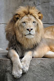 African lion Royalty Free Stock Photo