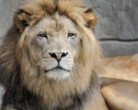 African lion. Closeup portrait of an African lion (Panthera leo Stock Photo