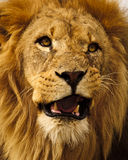 African Lion. A close up of an African Lion royalty free stock images