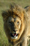 African lion. A portrait of an African lion male with a big mane watching other lions in a game park in South Africa Stock Photo