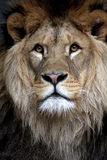 African lion. Stock Photo Stock Image