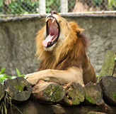 African Lion. Portrait of a male African Lion yawning Stock Photos