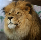 African Lion. Portrait of African Lion stock image