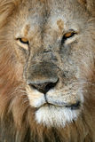 African Lion. Closeup Headshot of Male Lion Stock Photography