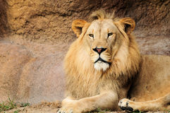 African Lion. A male African lion lying down and looking at the camera Royalty Free Stock Photography