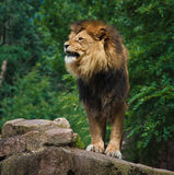 African  Lion. A male African Lion a bit angry Stock Photography