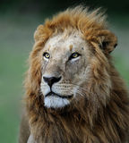 African lion. Portrait of a lion from kenya Royalty Free Stock Photography