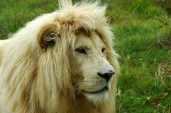 african lion 免版税库存图片