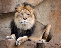 African lion. Male African lion (Panthera leo) relaxing on rocky ledge Royalty Free Stock Photography