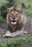 African Lion. Male African Lion staring directly at the camera in the Masai Mara, Kenya Stock Photo