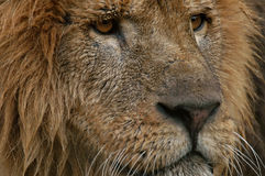 African Lion. Portrait Royalty Free Stock Photography