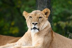 African Lion. Lioness photo taken at the Pittsburgh Zoo Stock Photo