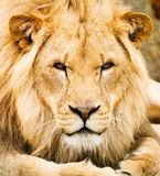 African Lion. A male African Lion lying down and looking at the viewer stock photos