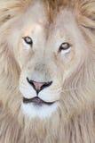 african lion 免版税库存照片