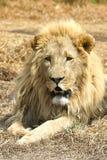 african lion Arkivbild