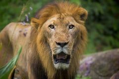 african lion 免版税图库摄影