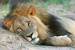 African lion. Big male African lion (Panthera leo) resting, Kalahari, South Africa Royalty Free Stock Photo