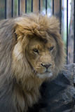 african lion 库存照片