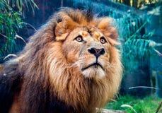 african lion Fotografering för Bildbyråer
