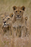 African Lion. Family of African Lions looking very alert Stock Image