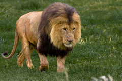 African Lion. Walking through the green grass Stock Image